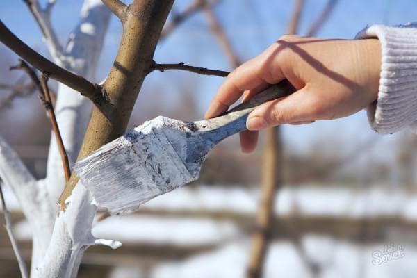 побелка деревьев известью